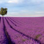 Sur les routes de la lavande en Provence