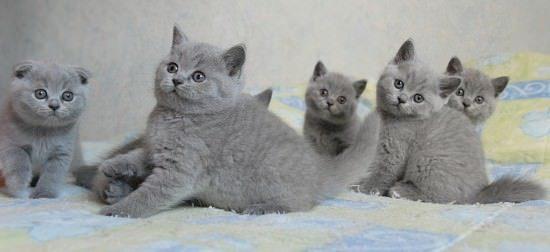 chatons british shorthair bleu