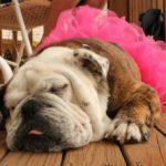 4 bonnes raisons d'avoir un bulldog à la maison