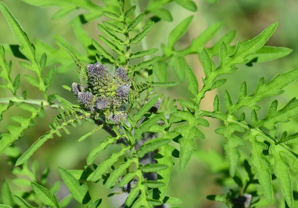 Le pollen d'ambroisie : l'ennemi des allergiques
